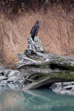 Haines, AK: Immature bald eagle at the Chilkoot Lake