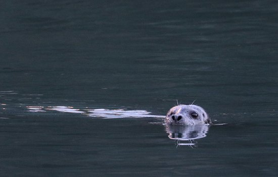 Haines, AK: Seals comeinto the Chilkoot River at high tide