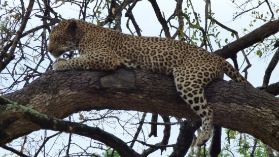 Mashatu Tent Camp: Leopard relaxing (picture taken after exiting tracking through the bush)