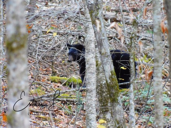 Waynesville, NC: Beautiful black bear foraging in the forest.