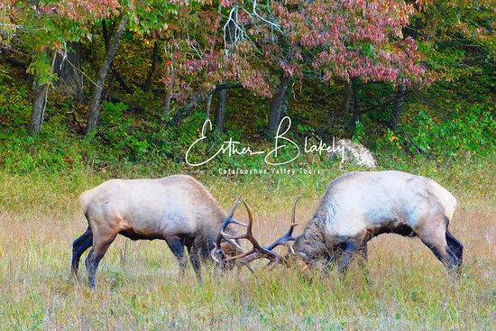 Waynesville, NC: Bull elk fight during rut.