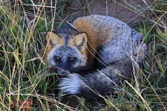 Wild Animal Sanctuary: a fox