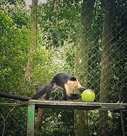 Dominical, Kostaryka: White faced capuchin monkey with a brand new feeding toy.