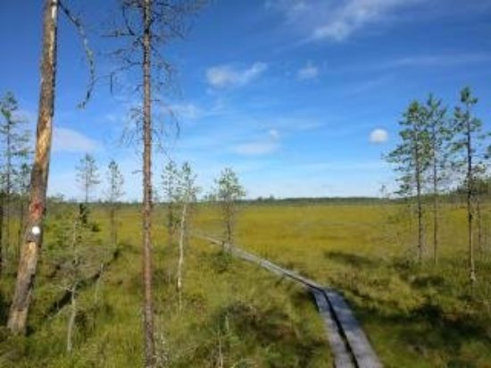 Saarijarvi, Finland: You don't get wet feet on the swamp in the Pyhä-Häkki National Park.