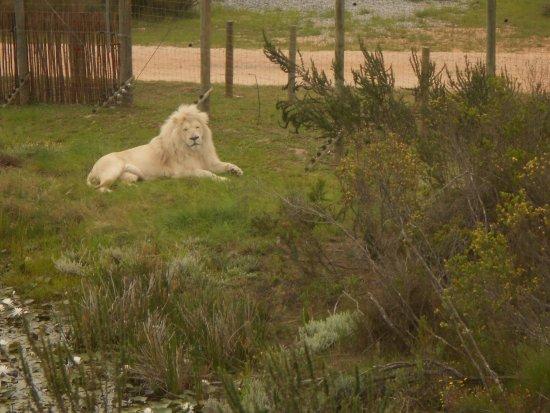 The Crags, África do Sul: The white lion