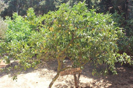 Askos Stone Park: Лимонное дерево