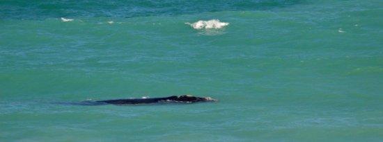 Bredasdorp, Südafrika: Southern right whale