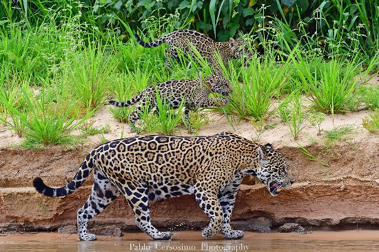 Pantanal: The best place to see jaguars in the wild.