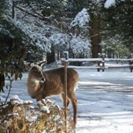 Bromont, Canada: Chevreuil en hiver