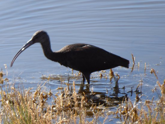 Brigham City, UT: White Faced or Glossy Ibis