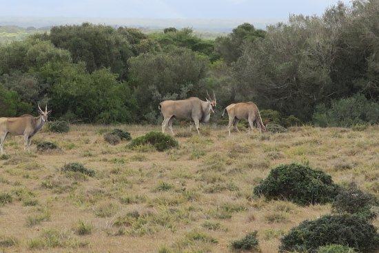Bredasdorp, Südafrika: Elem Antilopen