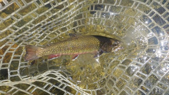 Littleton, Нью-Гэмпшир: Brook Trout from the Ammonoosuc River.
