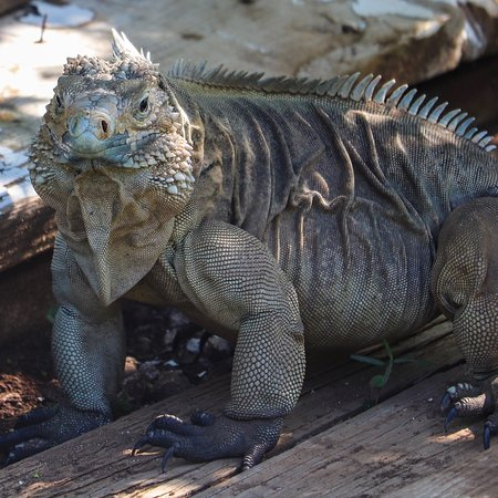 East End, Grand Cayman: Cayman Blue Iguana