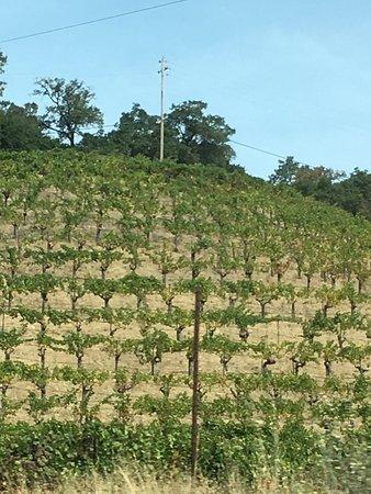 Pine Ridge Winery: Pine Ridge hillside - pre harvest