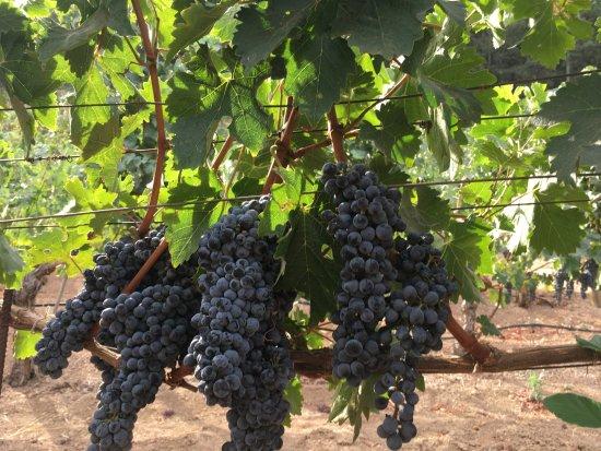 Pine Ridge Winery: Cabernet Sauvignon two days before harvest