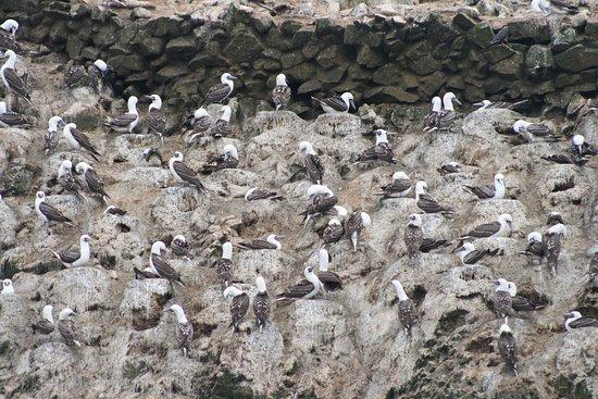 La Hacienda Bahia Paracas: Islas Ballestas birds