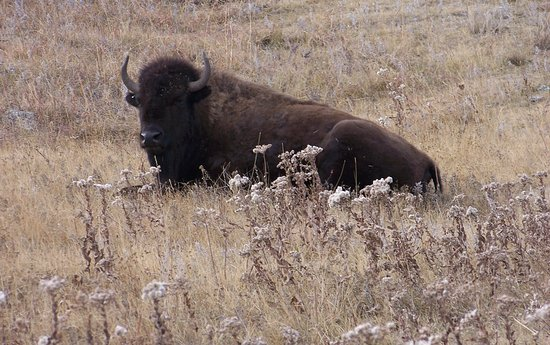 Custer State Park: Bison at CSP