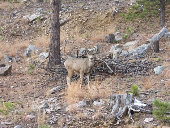 Custer State Park: Deer at CSP
