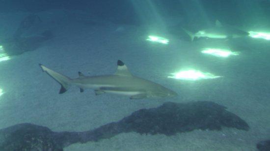 Wailuku, ฮาวาย: Shark Tank