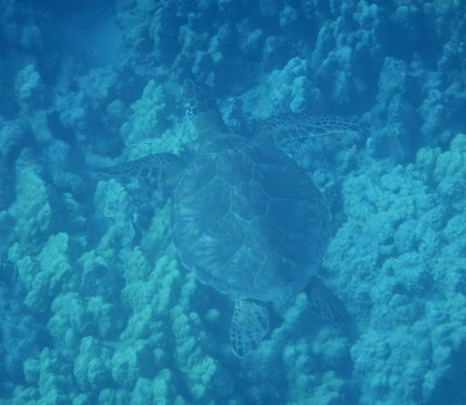 Вайколоа, Гавайи: Sea Turtle