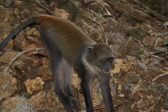 Gede, Kenia: una delle tante graziose scimmiette