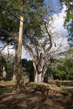 Gede, Kenia: imponente baobab