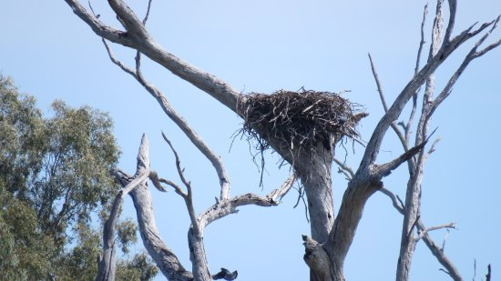 Forbes, Australia: Sea eagle nest - out flying
