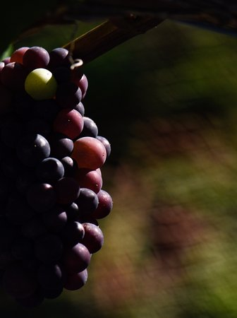 Alexandra, New Zealand: Almost ripe Pinot Noir grapes
