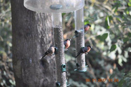 Washington, UK: bullfinch?