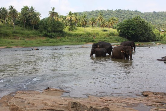 Pinnawala Elephant Orphanage Elephants Swimming In The River