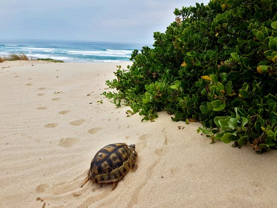 Sedgefield, Sudáfrica: Tortoise on Myoli Beach