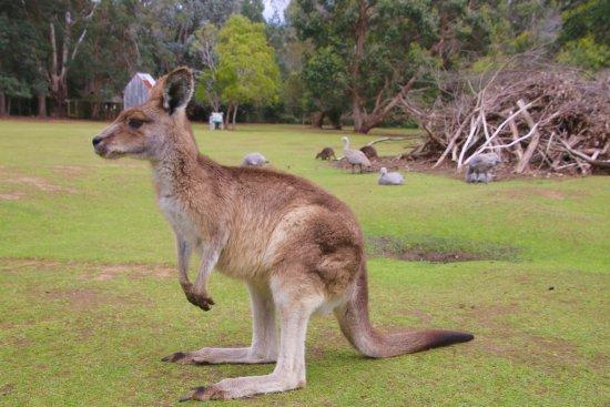 Taranna, Австралия: Up close with Kangaroos