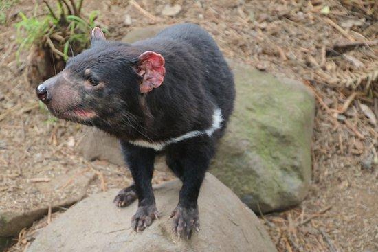 Taranna, Австралия: Tasmanian Devil