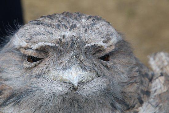 Taranna, Австралия: Tawny Frogmouth