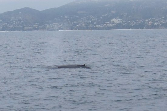 Capt. Dave's Dolphin & Whale Watching Safari: Whales and more whales....at Capt. Daves