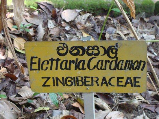 Mawanella, Sri Lanka: Cardamon