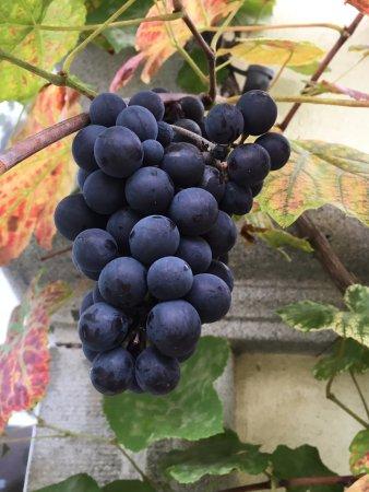 Wangen an der Aare, سويسرا: Unsere Trauben für den Stadtgartenwein und Grappa