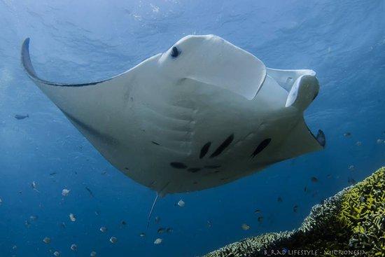 Manta Ray Bay Resort: Manta Ray over a Coral Reef in Yap