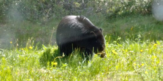 Bow Valley Parkway: Black bear