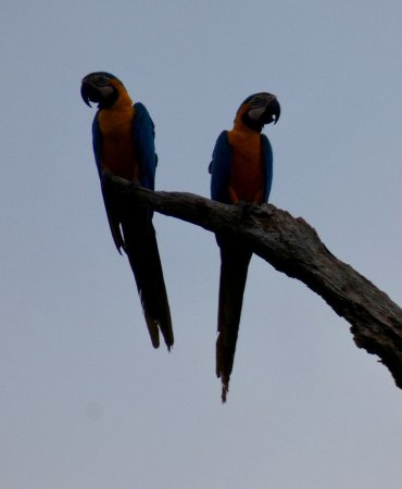 Pilon Lajas Biosphere Reserve: En natuurlijk overal papegaaien. (ook kleiwanden waar ze hun nesten in hebben)