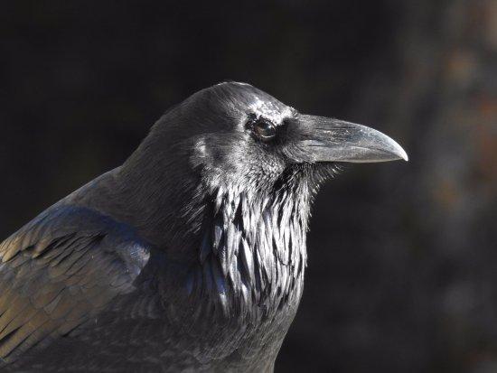Gardiner, MT: Raven