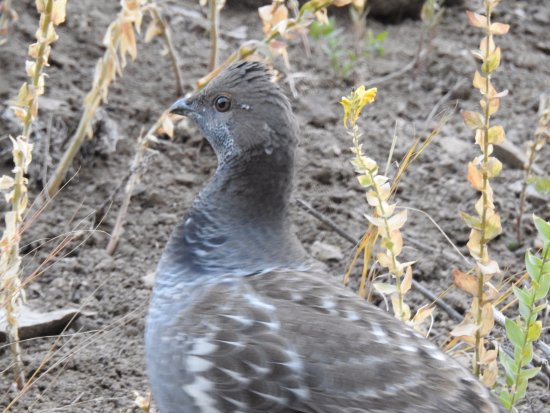 Gardiner, MT : Dusky Grouse
