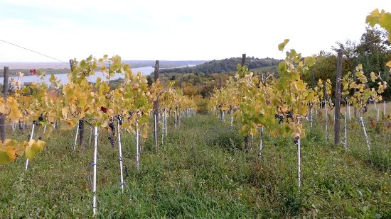 Central Serbia, Serbia: Plavinci organic vineyard in Fall
