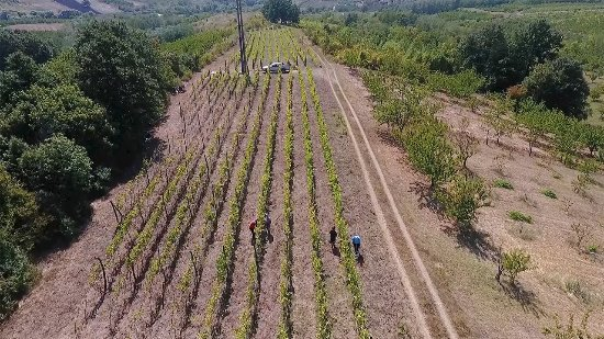 "Central Serbia, Serbia: Organic vineyard ""Makino brdo"" at Plavinci"