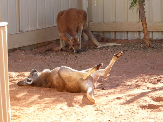Josephine's Gallery & Kangaroo Orphanage: Red kangaroo