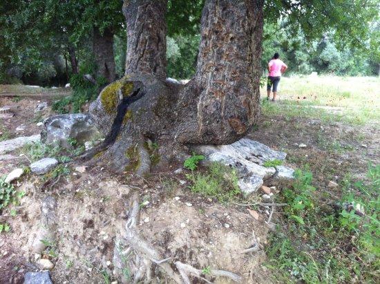 Ağaç köklerinde bile tarih var