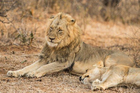 Balule Nature Reserve, Sudáfrica: Lion couple