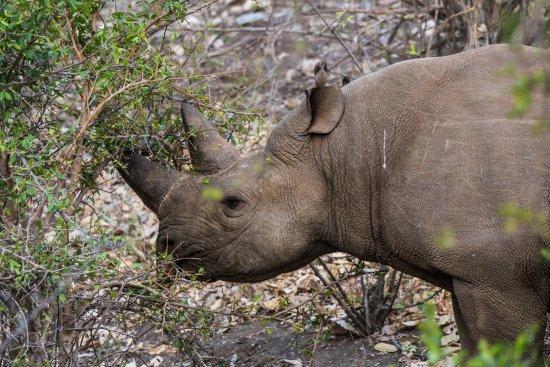 Balule Nature Reserve, Sudáfrica: rhino