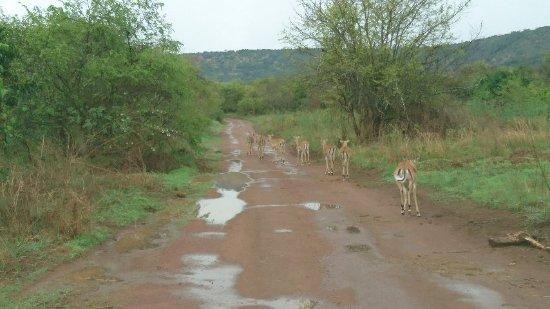 Akagera National Park, Rwanda : DSC_0711_large.jpg