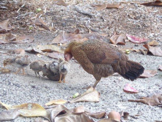 Une poule et ses poussins dans le parc de l 39 hotel picture of intercontinental moorea resort - Poule et ses poussins ...